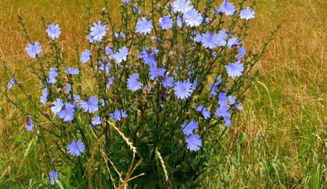 fleur-de-bach